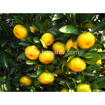 Best Price Nanfeng Baby Mandarin with Good Quality