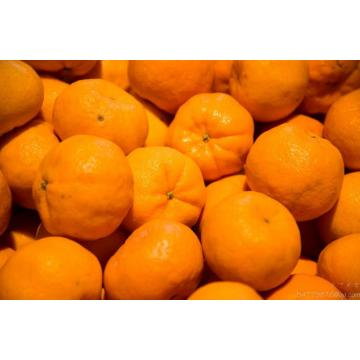 Fresh new crop LUGAN orange