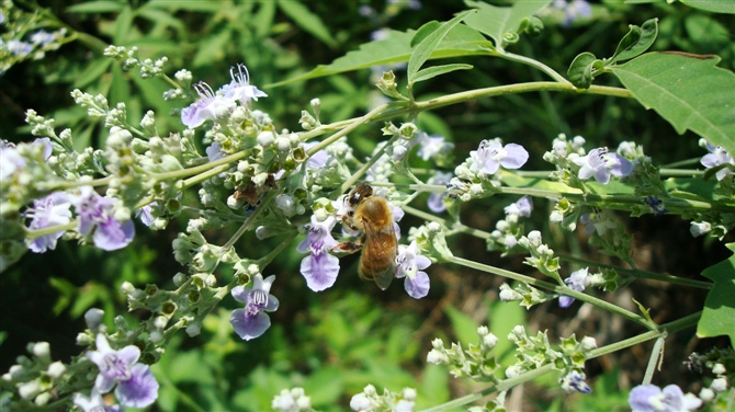 Buckwheat Flower And Bee