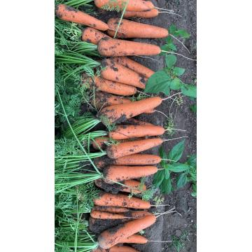 Top Class Fresh Carrot Organic Carrot From China with Price
