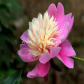 Paeoniflorin 10% Powder Paeonia Lactiflora Extract Powder
