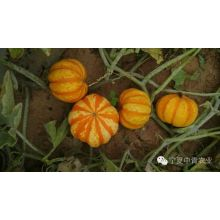 Mini  round orange F1 hybrid pumpkin seeds