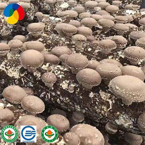 champignon logs wholesale grow bag substrate