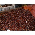 Fresh Dandong big Chestnut