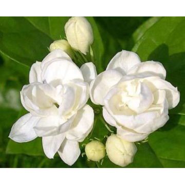 An invigorating jasmine essential oil